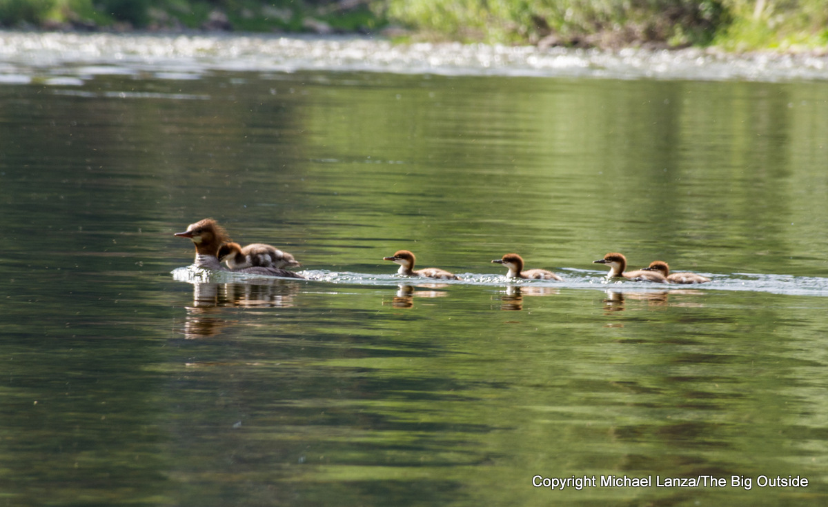 A mother duck and ducklings in Idaho's Middle Fork Salmon River.