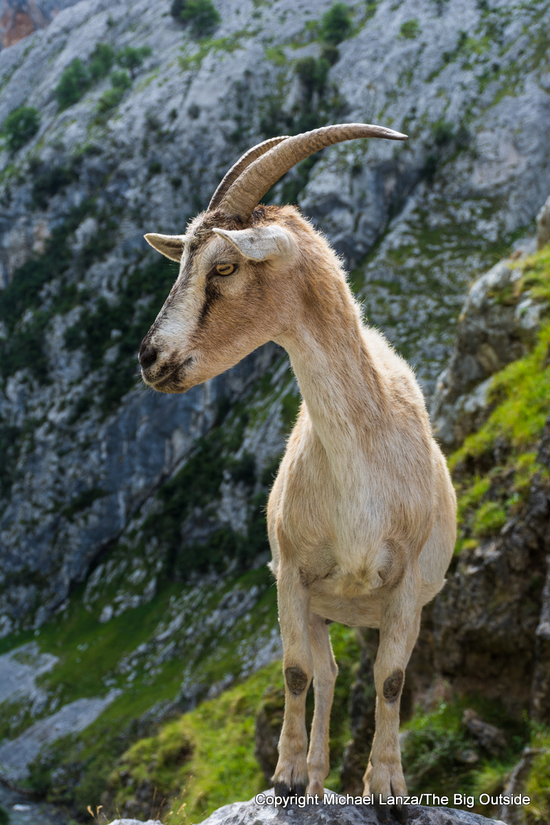 A chamois in the Cares Gorge, Picos de Europa National Park, Spain.