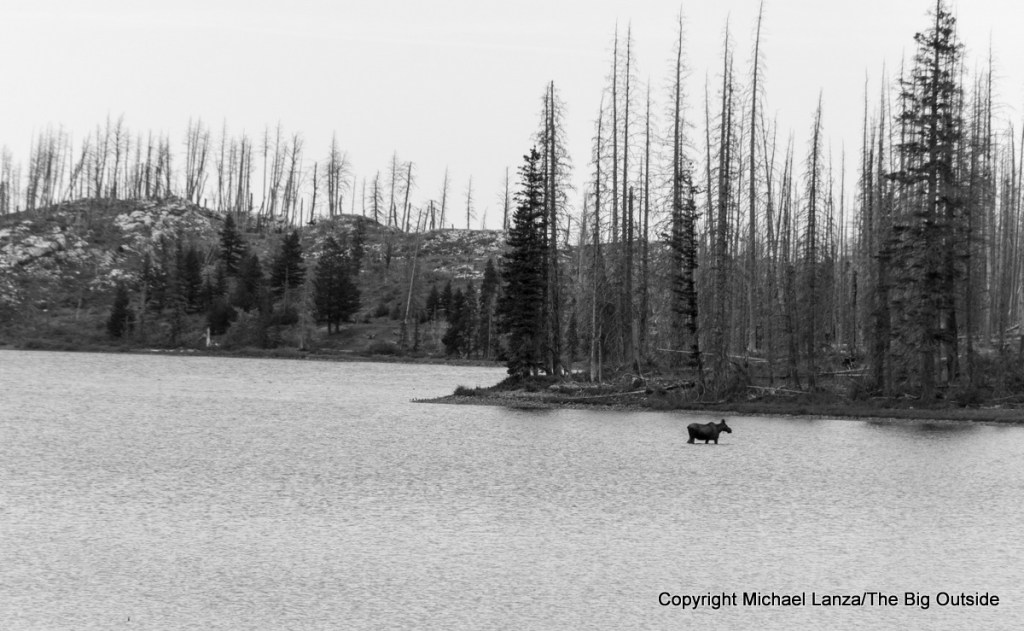 A moose in Red Eagle Lake, along the Continental Divide Trail in Glacier National Park.