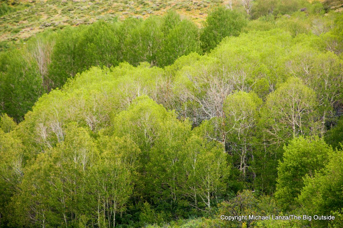 Aspen groves north of Harrison Pass on the Ruby Crest Trail.