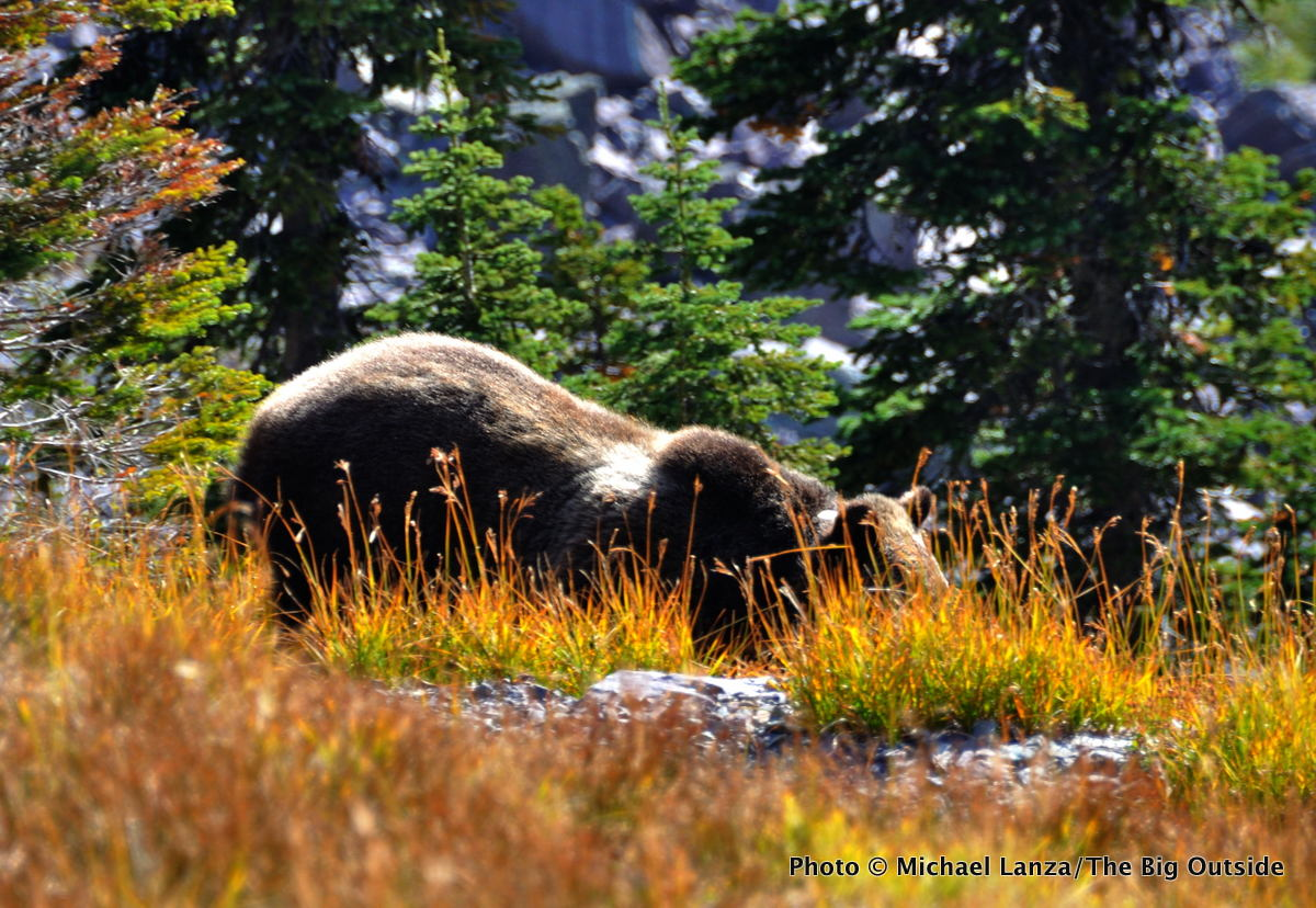 A grizzly bear in the backcountry of Glacier National Park.