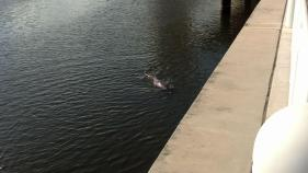 A dolphin joins her on her run