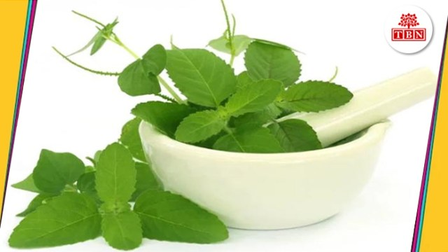 thebiharnews-in-Home-remedies-for-Malaria-Fever-tulsi