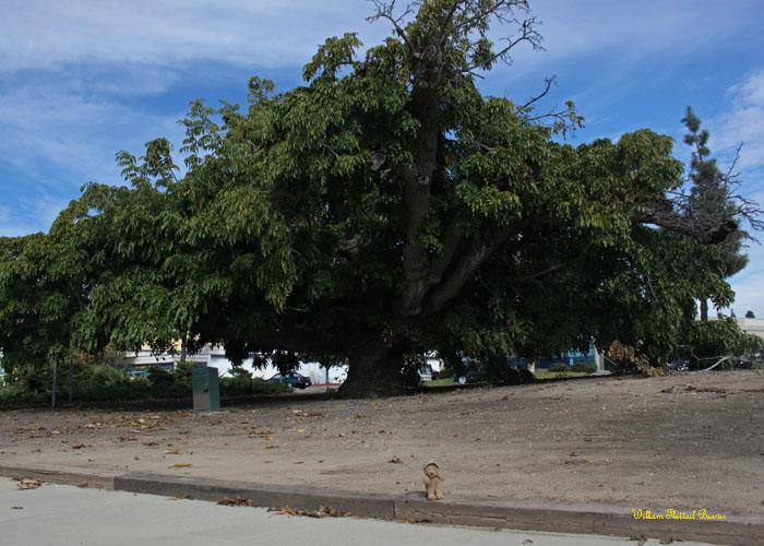 Paradox Walnut Tree