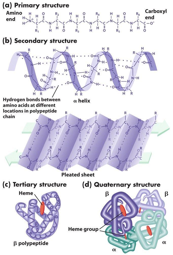 Amino acids and Protein  the biochemGazettE