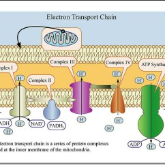 Electron Transport Chain Diagram For Dummies Jayco Swan Outback Wiring Chemiosmotic Theory And Atp Synthesis The Biochem Synapse