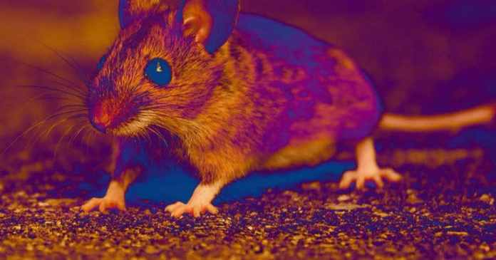 Scientists regrow mouse's amputated toes