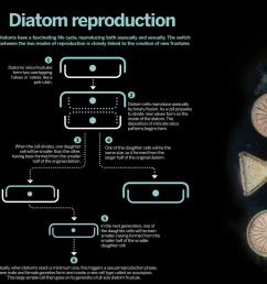 the life cycle of diatoms is closely linked to formation of new frustules click image to enlarge [ 1065 x 873 Pixel ]