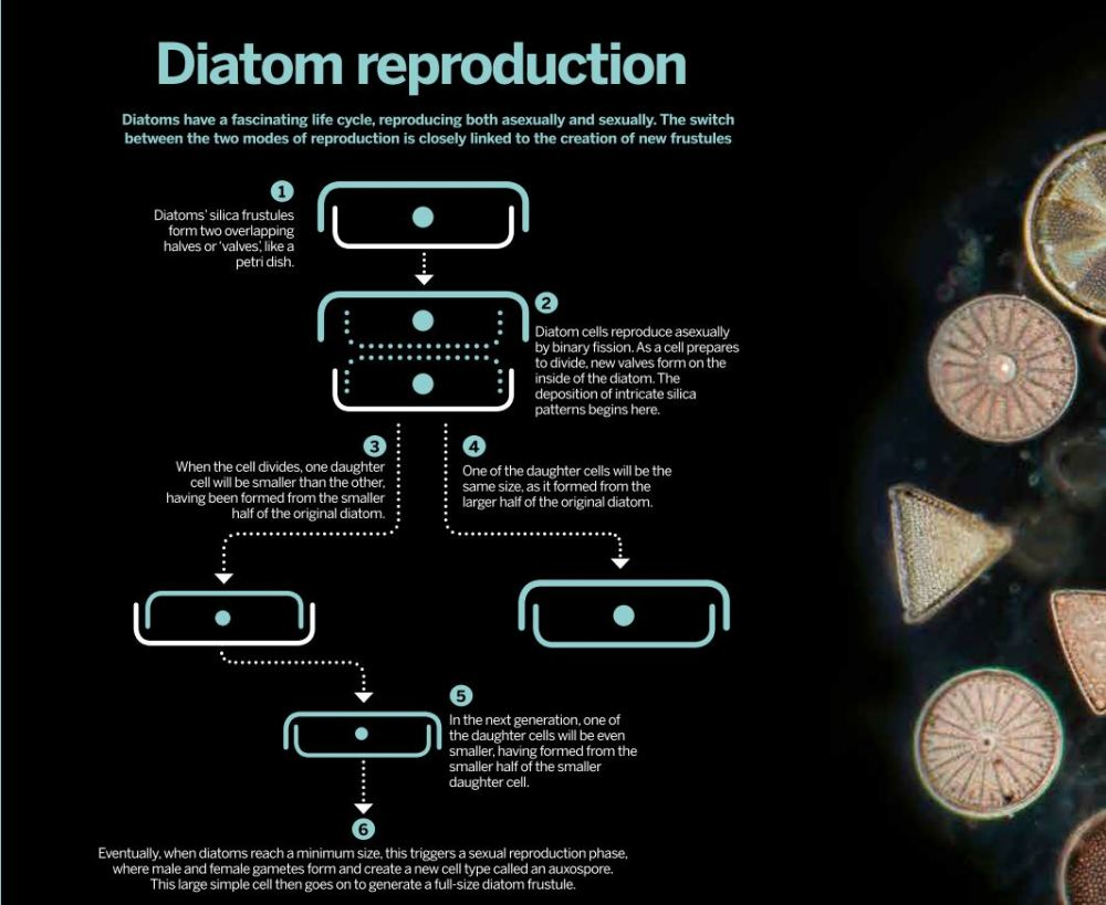 medium resolution of the life cycle of diatoms is closely linked to formation of new frustules click image to enlarge