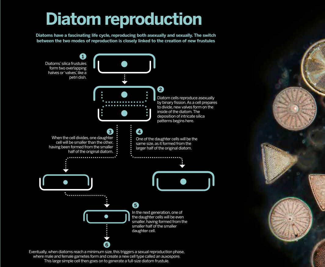hight resolution of the life cycle of diatoms is closely linked to formation of new frustules click image to enlarge