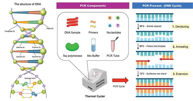 Polymerase Chain Reaction (PCR) - Biotechnology, Molecular Biology - The Biology Notes