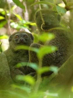 Bamboo lemurs! :)