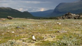 The long-tailed jaeger (Stercorarius longicaudus) sitting in the valley
