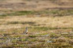 The eurasian dotterel (Latin: Charadrius morinellus, Swedish: fjällpipare) is a bird living in the swedish mountain range. It lives on high altitudes so it is therefore hard to see.