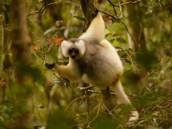 The silky sifaka
