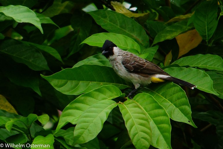 Some species of bulbul. Havent seen that many birds yet!