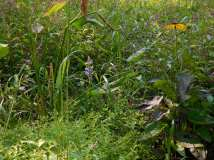 Bog garden going crazy. The tiny monkey flower is in foreground.