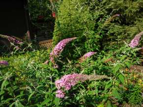 Butterfly bushes got a slow start this year.