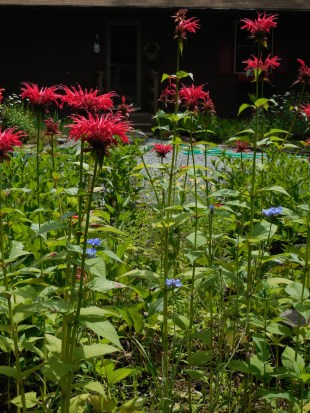 Monarda & bachelors' buttons (started from seed) in driveway bed