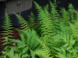 Sensitive ferns & wood ferns in front of the house