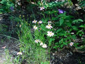 The pink coreopsis lives! I divided the one that was not blooming in the shade and divided into 15.