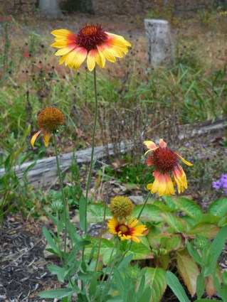 Gaillardia started from seed this year