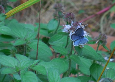 One of the last butterflies on the water mint--a perfect match.