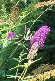 Zebra swallowtail--first time seeing one here.