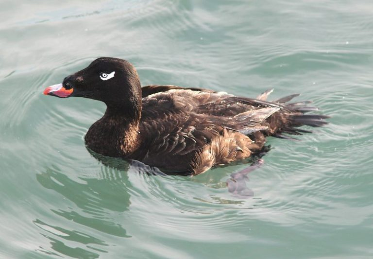 White-winged Scoter.
