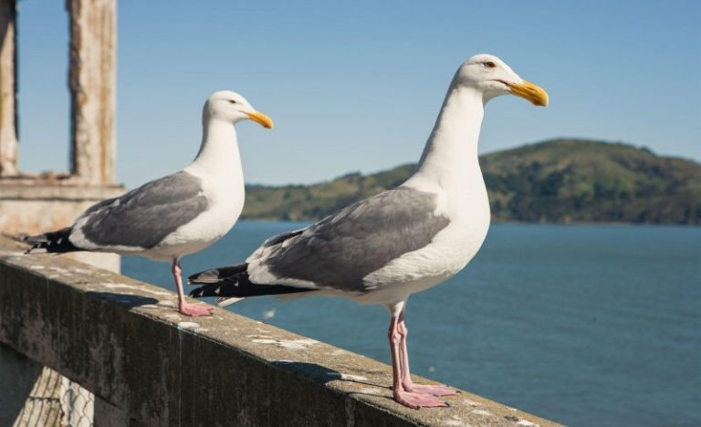 The golden state Gull