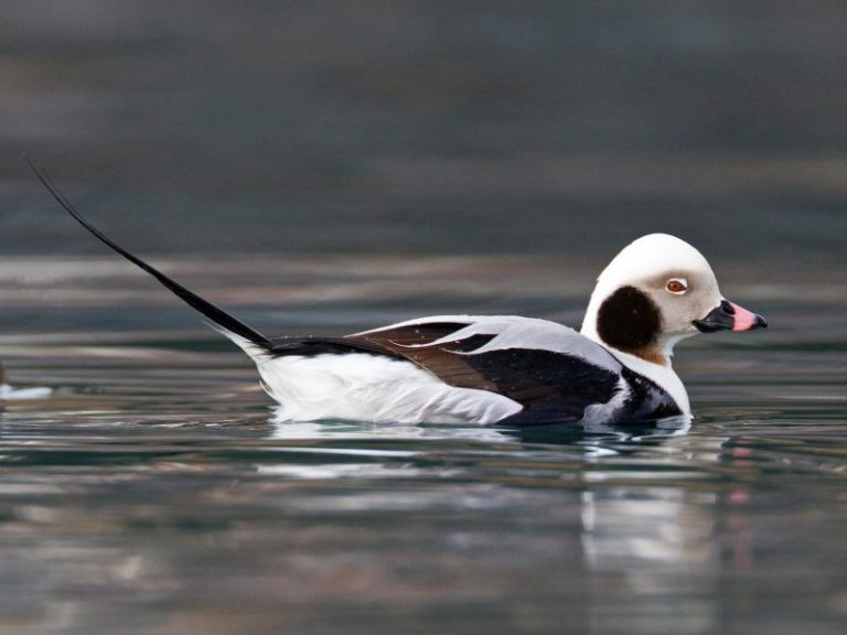 Long-tailed Duck.