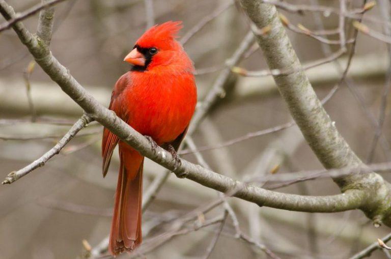 North cardinal Cardinalis cardinalis