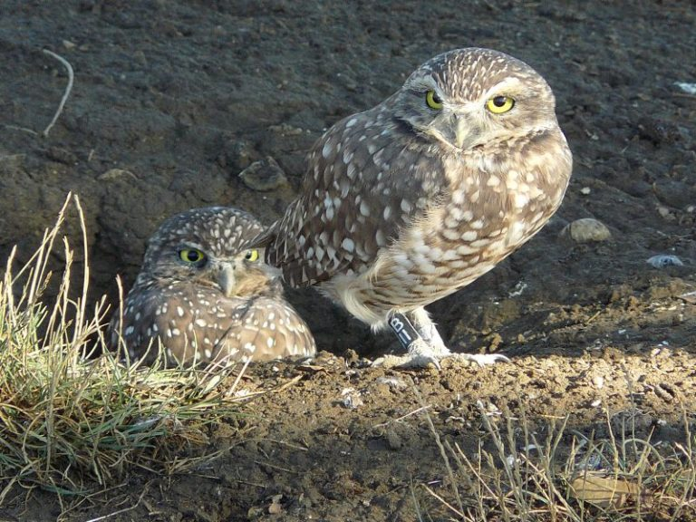 Tunneling Owl
