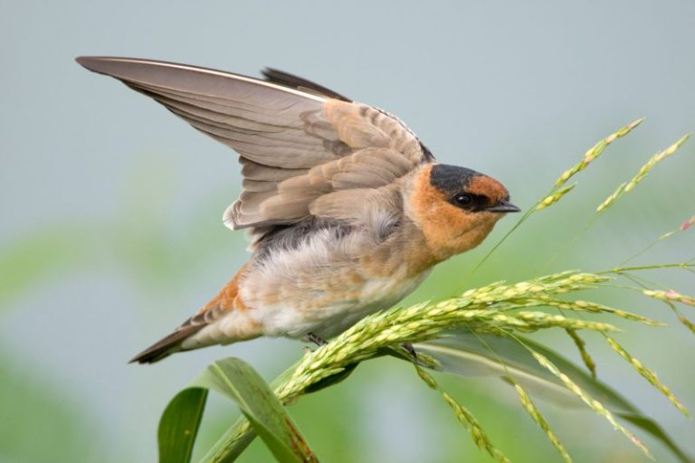 Cave Swallow.