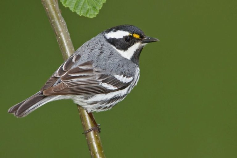 Black-throated Gray Warbler.