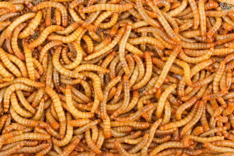 Raising Mealworms