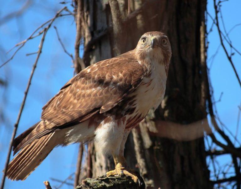Common Hawks In Colorado