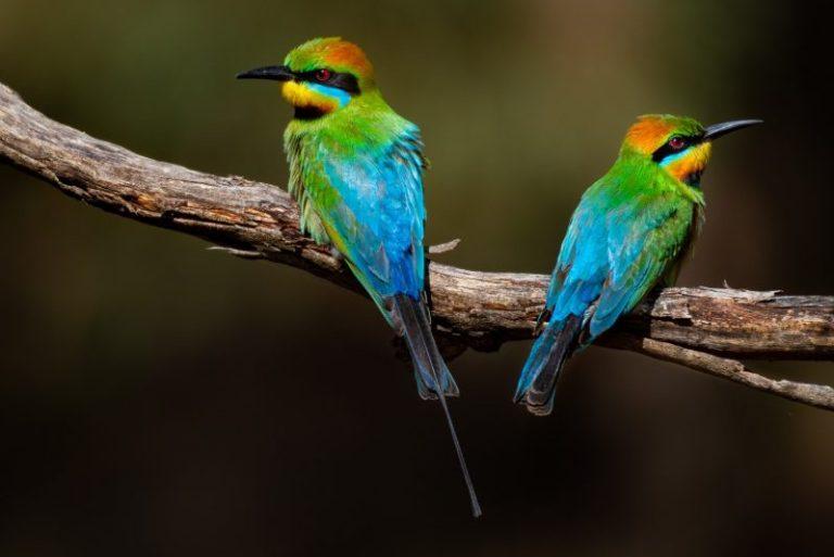 Blue Colored BirdsBlue Colored Birds