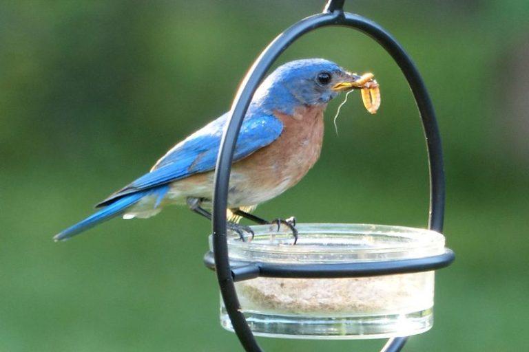 what do bluebirds eat