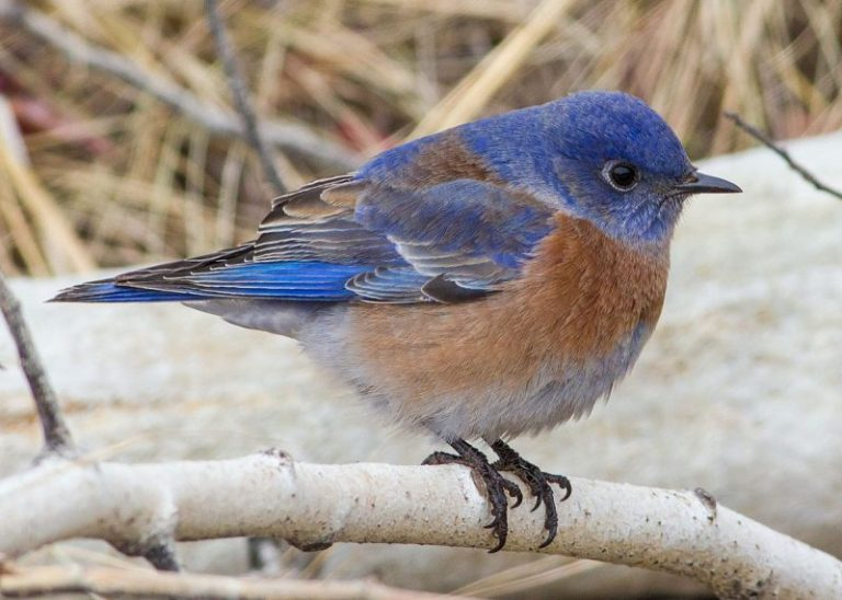 Spiritual Bluebird Meaning & Symbolism