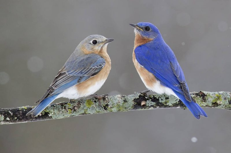 bluebird meaning