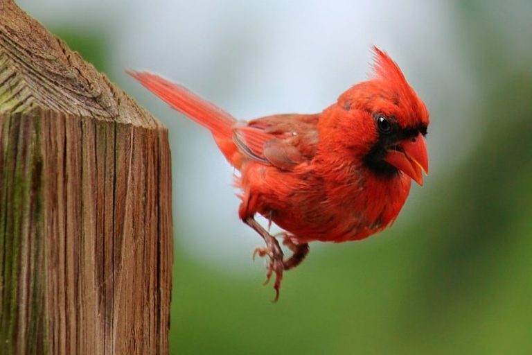 red cardinal meaning