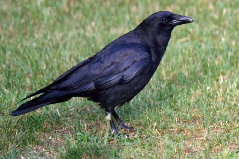 how to get rid of crows