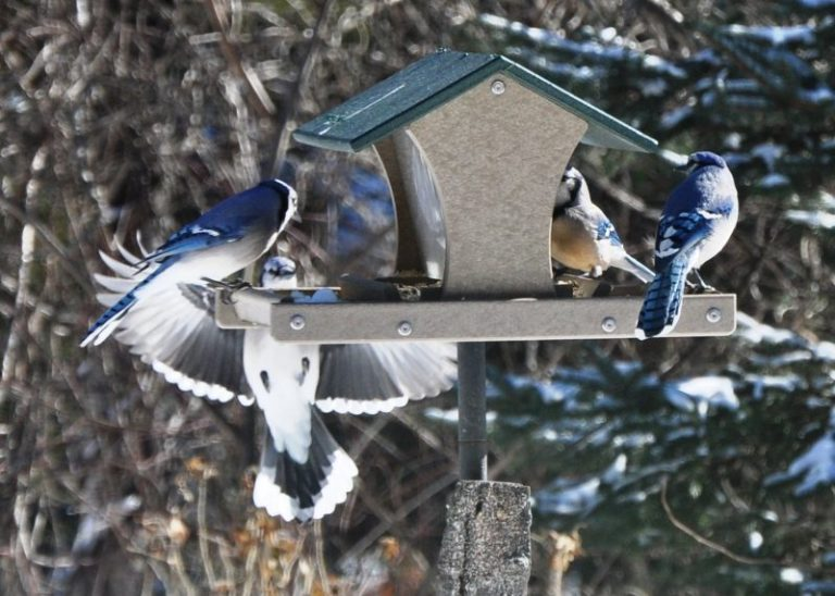Types of Bird Feeders For Blue Jays