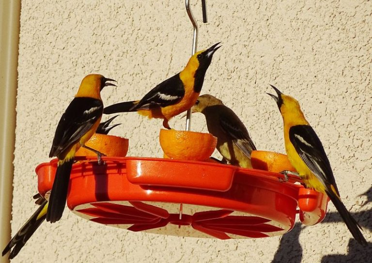 Types of Oriole Feeders