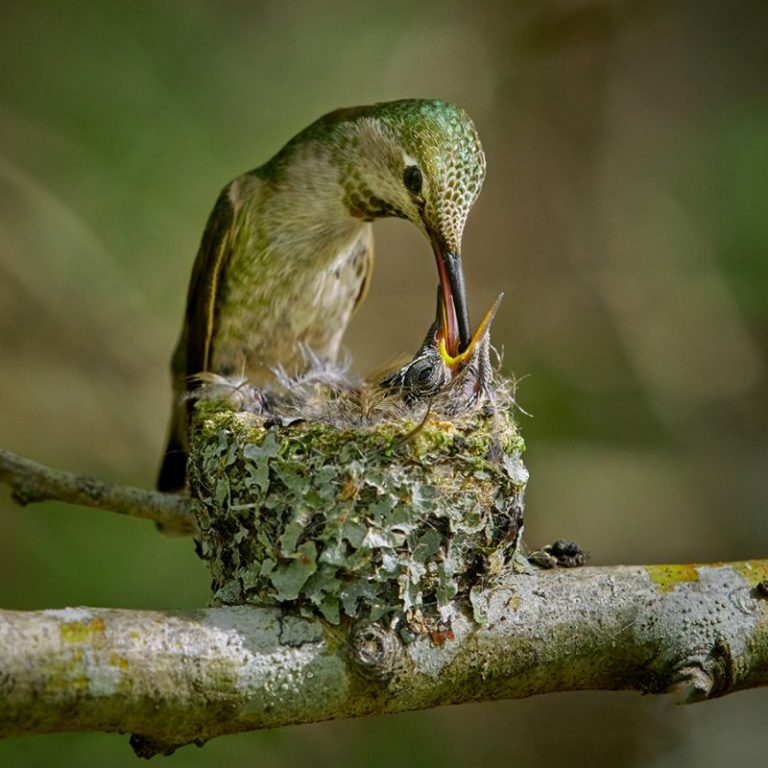Ways to Provide Areas for Hummingbird Nesting