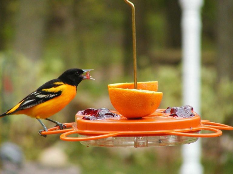 What is an Oriole Feeder