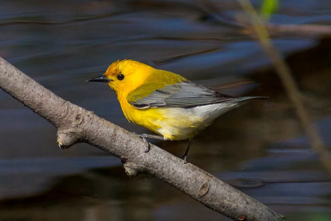 Prothonotary Warbler during spring migration