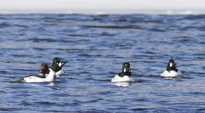 Common Goldeneyes, Rideau River in Ottawa