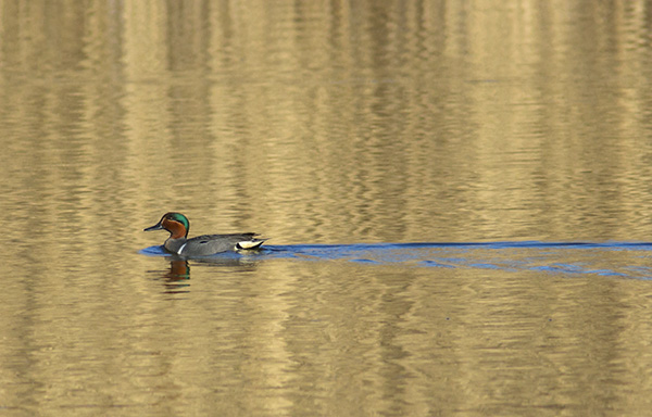 Green-winged Teal during migration